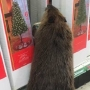 Beaver caught 'shopping' for Christmas decorations, causes property damage to Md. store