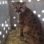 Two mountain lion kittens found in barn near McCall