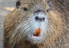 The white muzzle and conspicuous, white whiskers are distinguishing characteristics of the nutria - Tony Northrup.jpg