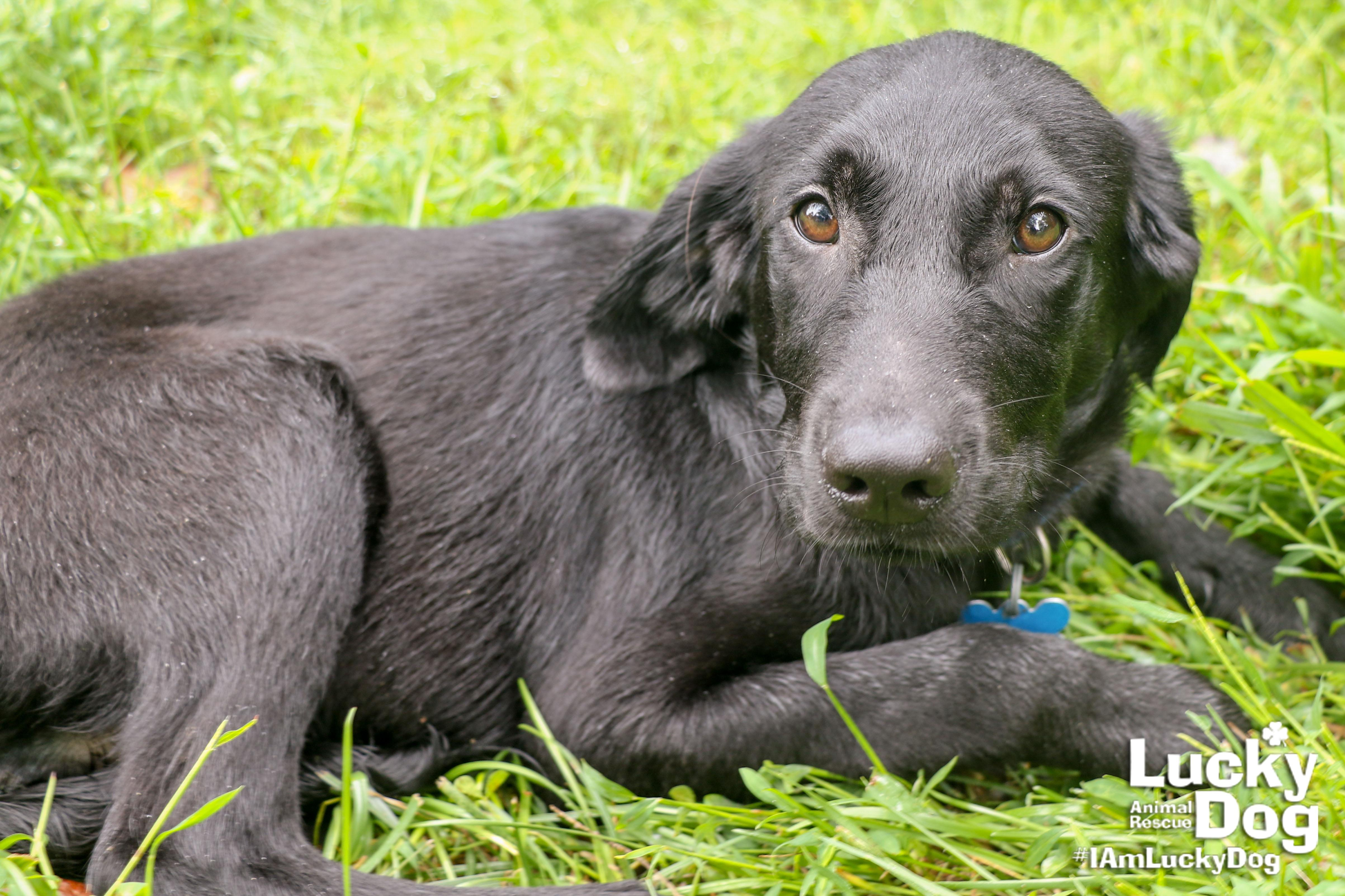 Frank is a 2-month-old, 20-pound Labrador Retriever who was evacuated before the storm from{ }Florence, South Carolina. If you are interested in adopting Frank, you can meet him Sunday (September 16) from 12-2 pm at the Kentlands PetSmart in Gaithersburg, MD. (Image: Courtesy Lucky Dog Animal Rescue){ }