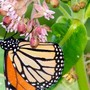 Conservationists ask public for feedback to save Monarch butterflies