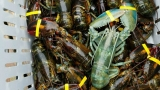 Green lobster caught off Harpswell