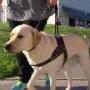 Billy, a guide dog in training, viciously attacked north of Downtown
