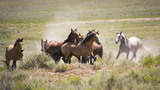 PHOTOS: Wild horses released to wide open spaces southwest of Homedale