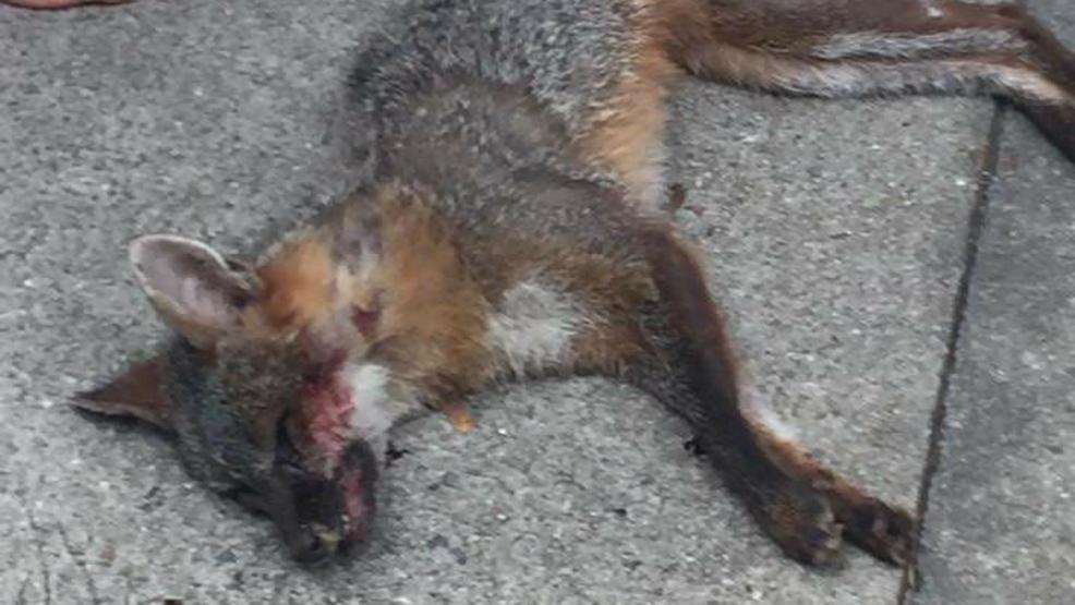 Rabid Fox Foaming | www.pixshark.com - Images Galleries ...