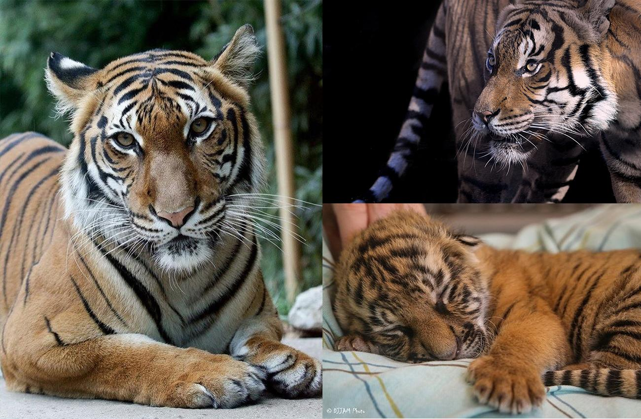 Cinta, Jalil, and an unnamed Malaysian tiger cub / Image courtesy of the Cincinnati Zoo // Published: 3.22.17