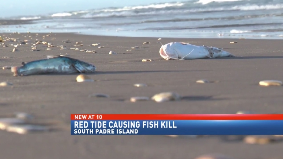 Red tide arrives at south padre island kgbt for Tides for fishing texas city