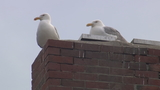 Man's wallet, stolen by seagull, retrieved from roof