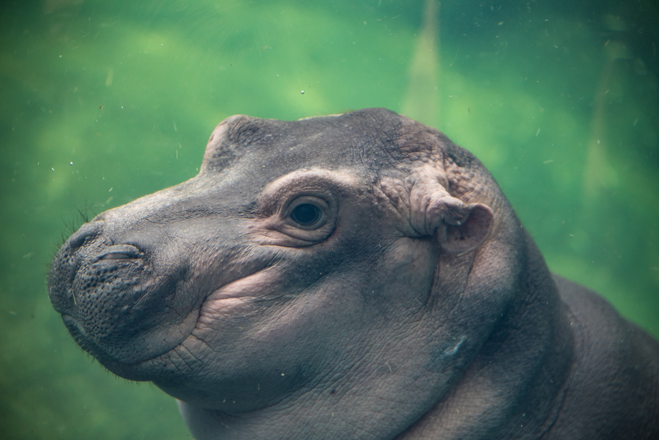 "Pictured: Fiona the baby hippo from the gallery ""Photos: Fiona (a.k.a. The Cutest Hippo In The World) Made Her Media Debut"" / Image: Phil Armstrong, Cincinnati Refined // Published: 12.31.17<p></p>"