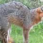 Three wild fox attacks occur within two days in Baldwin County area