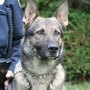 K-9 Dexter ends 7 year career at YPD