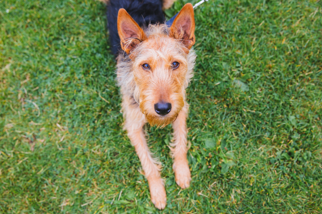 Meet Ellie! Ellie is a two-year-old Airedale and Hound Mix! She is a rescue dog from Kauai and is now living the dream in Seattle. Ellie likes playing hide and seek, squeaky toys, water sprinklers, Flyball, romping with other dogs, dog parks and car rides. She dislikes loud noises, mean dogs and tomatoes. You can follow Ellie's journey through life on instagram @ellie_the_airedale. The Seattle RUFFined Spotlight is a weekly profile of local pets living and loving life in the PNW. If you or someone you know has a pet you'd like featured, email us at hello@seattlerefined.com or tag #SeattleRUFFined and your furbaby could be the next spotlighted! (Image: Sunita Martini / Seattle Refined).