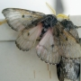 Giant moths in Oregon: 'People should enjoy the phenomena as much as they can'