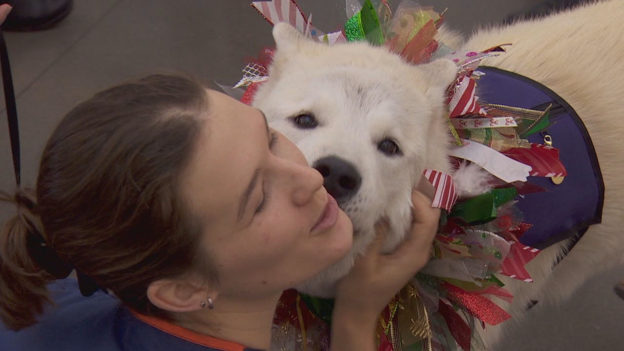 Fourth year dental student Sophie Diepenheim (deep-en-hime)-- with Burk's and Zipporah's help-- trained her dog to be a therapy dog. She was smitten with the white akita. (KATU)<p></p>
