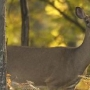 Count of antlerless deer kills lowest in at least 5 years