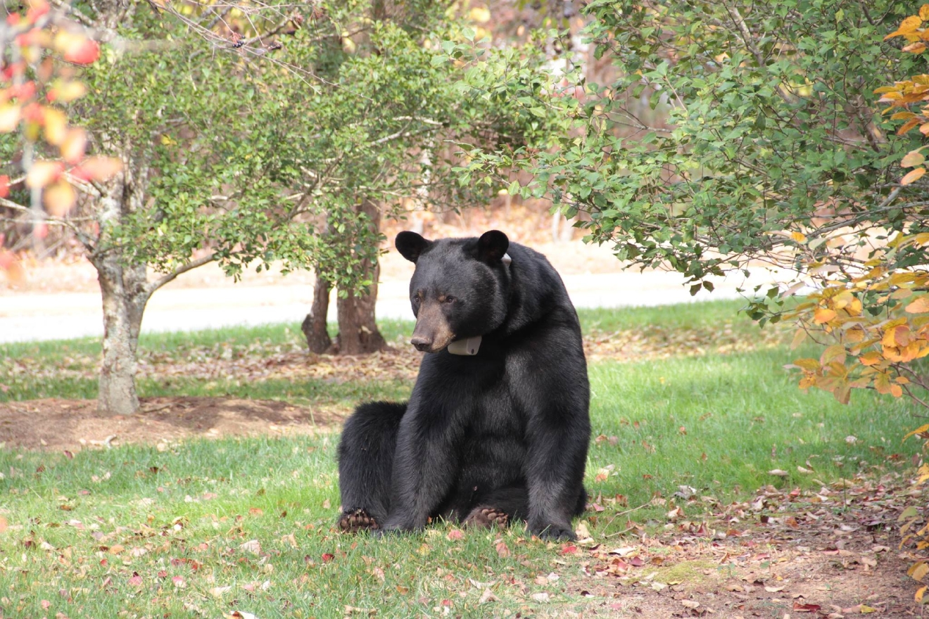 A black bear outside of WLOS on Nov. 3, 2016.  (Photo credit: Jeremy Cress)