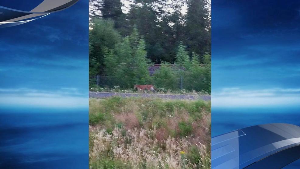 tigard cougar