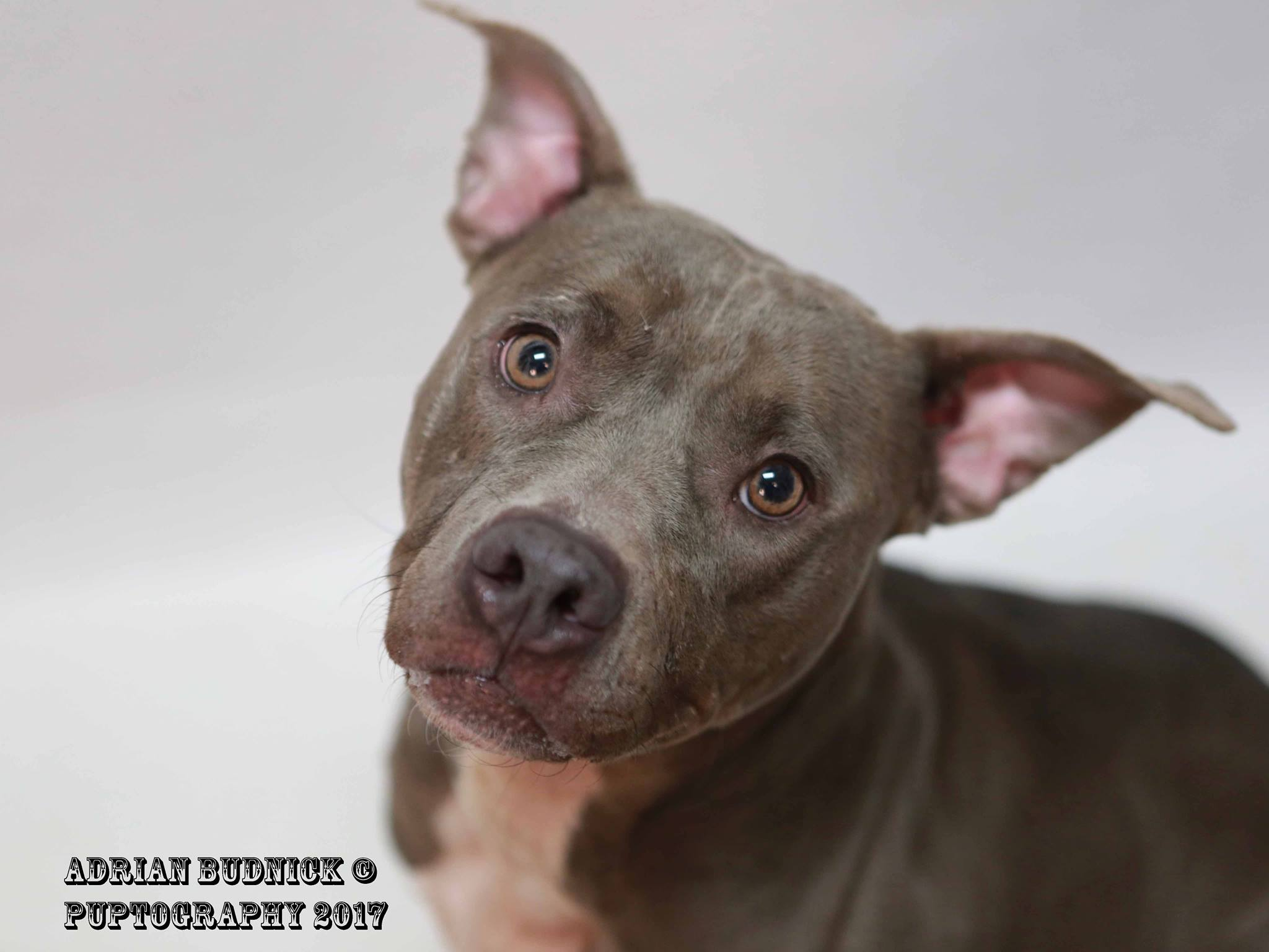 Ivy A128632 is a 2 year old pit bull. She is available at Metro Nashville Animal Care and Control