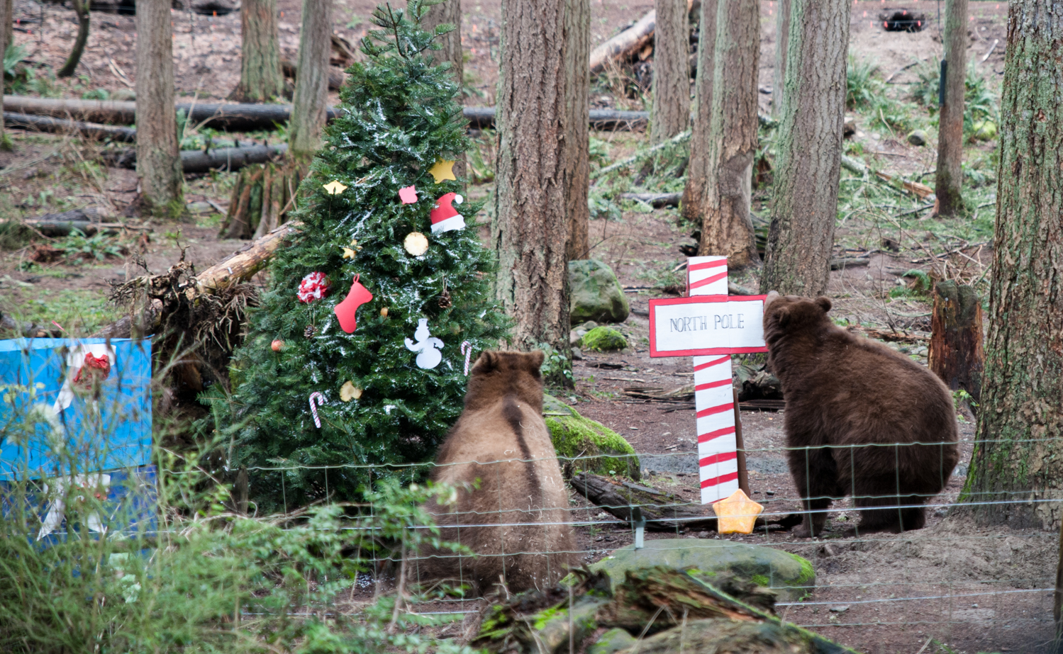 "Northwest Trek, the 723-acre wildlife park in Eatonville, WA is celebrating the holiday season with their Winter Wildland Wonderland! Happening this weekend only{&nbsp;} (Dec. 28/29) come see animals like badgers, grizzly bears, cougars, snowy owls, raccoons and gray wolves play with holiday themed treats in the crisp mountain air. Think cardboard sleighs, popsicles, mock-gingerbread houses and the like! Tickets are still on sale{&nbsp;}<a  href=""https://tickets.nwtrek.org/webstore/shop/ViewItems.aspx?CG=tetix&C=otix17"" target=""_blank"" title=""https://tickets.nwtrek.org/webstore/shop/ViewItems.aspx?CG=tetix&C=otix17"">online</a>. (Image: Elizabeth Crook / Seattle Refined)"