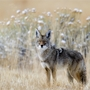 Coyote attack near Sam Boyd Stadium injures dog