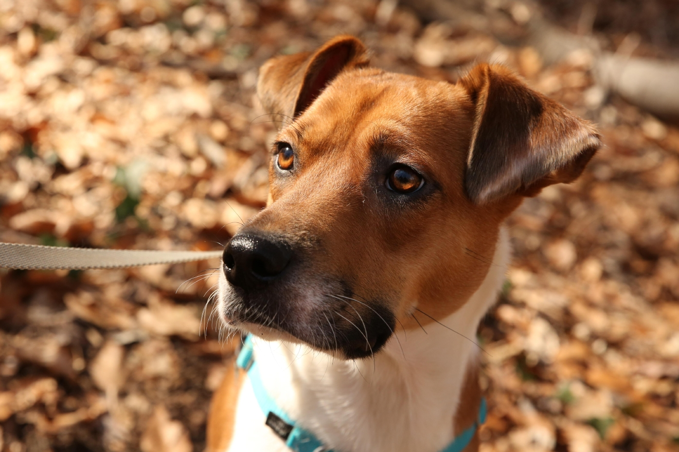 "Meet Autumn, a 1.5-year-old hound mix that was the result of a ""we're just looking"" family trip a local shelter! After school one day last October, mom took her two kids to the Oglethorpe location of the Humane Rescue Alliance just to look... and wound up with sweet Autumn! Autumn loves chewing her toys and bones, chasing any and all woodland creatures, snuggles and hugs from her new family and learning new tricks. But she really dislikes city noises, going out in the snow and when mom leaves the house. Autumn has become a fan favorite at the local dog park and it seems like it's the one place outside of her new home where she can really relax and let her guard down. Now, her new family cannot wait to introduce Autumn to Summer! If you or someone you know has a pet you'd like featured, email us at dcrefined@gmail.com or tag #DCRUFFined and your furbaby could be the next spotlighted! (Image: Amanda Andrade-Rhoades/ DC Refined)"