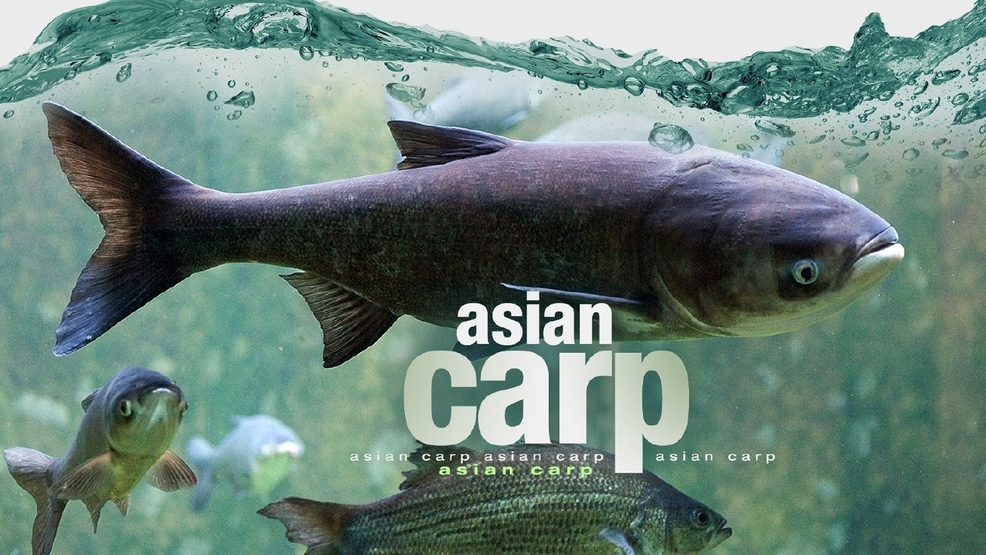 Magnificent Asian carp close the canal