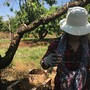 Farmers continue to work in the heat as peaches ripen