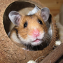 Texas State student: Airline told me to flush pet hamster