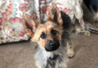 Ranger the Dwarf German Shepherd via Instagram 2.PNG
