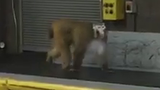 Monkey shot with tranquilizer after escaping cage at San Antonio airport