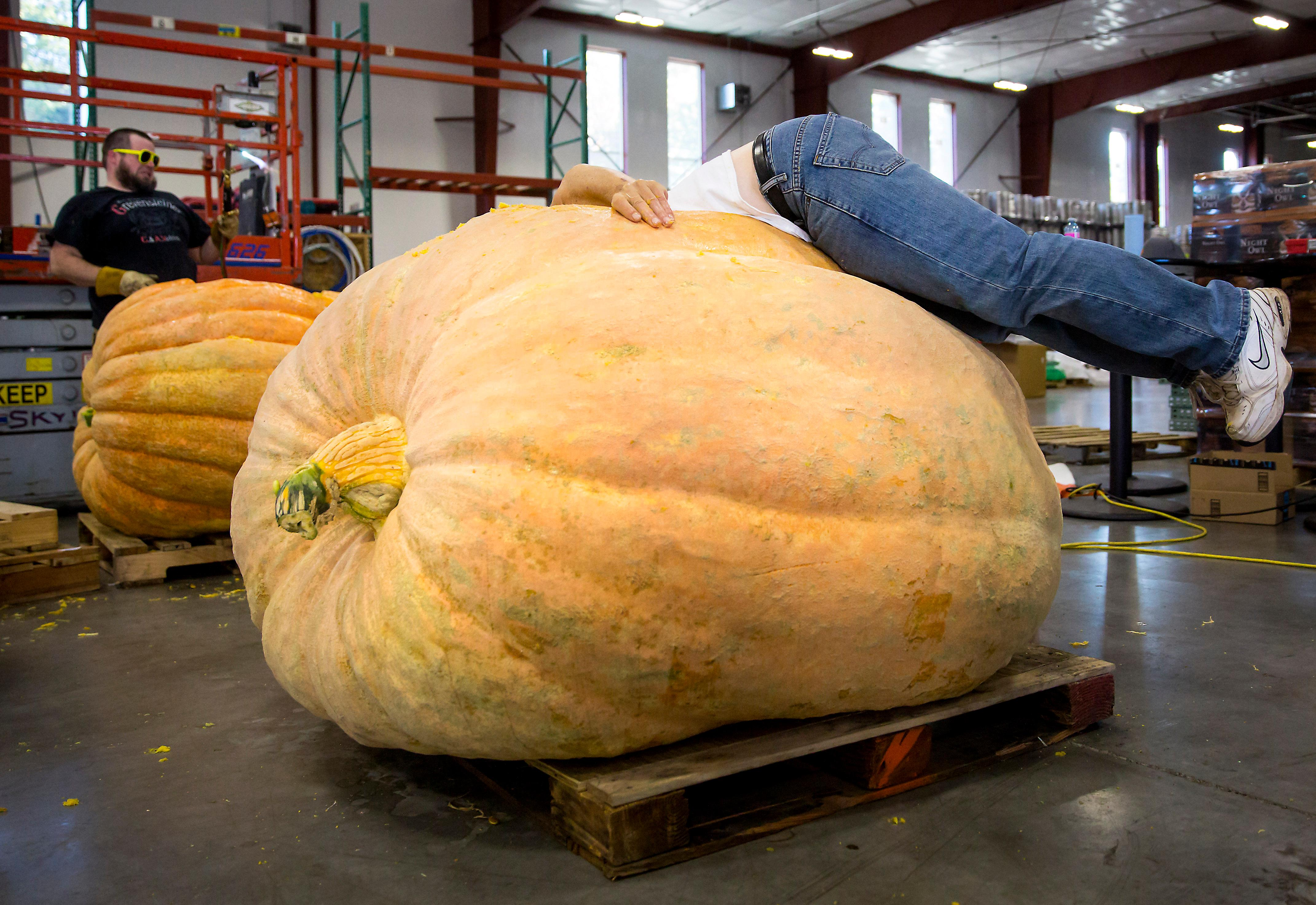 Sumner farmer Joel Holland, winner of the Great Pumpkin Weigh-Off, dives into his 1,790 pound pumpkin to pull out the precious seeds he will use or sell for future pumpkins at Elysian Brewing. (Sy Bean / Seattle Refined)