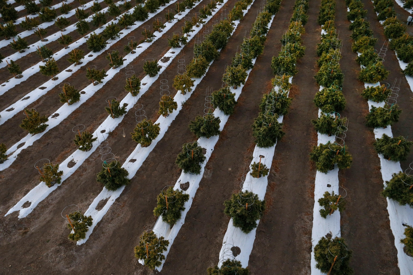 In this Oct. 10, 2016 photo, the morning sun hits rows of maturing pot plants at Los Suenos Farms, America's largest legal open air marijuana farm, in Avondale, southern Colo. During the fall 2016 harvest, the 36-acres are expected to yield 5 to 6 tons. (AP Photo/Brennan Linsley)