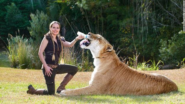 The largest living cat is Hercules, an adult male liger, lion and tigress hybrid, currently housed at Myrtle Beach Safari, a wildlife reserve in South Carolina. In total length, he measures 131 inches (3.33 meters), and stands 49 inches.
