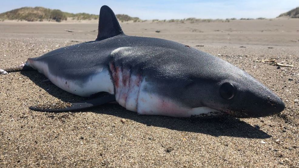 those aren t baby great white sharks washing up on the oregon