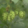 Hops from Yakima Valley chosen for royal brew