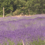 Lavender Festival 2018 is right around the corner