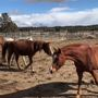 Veterinarians euthanize eight of 83 horses rescued in Deschutes County due to hoof neglect