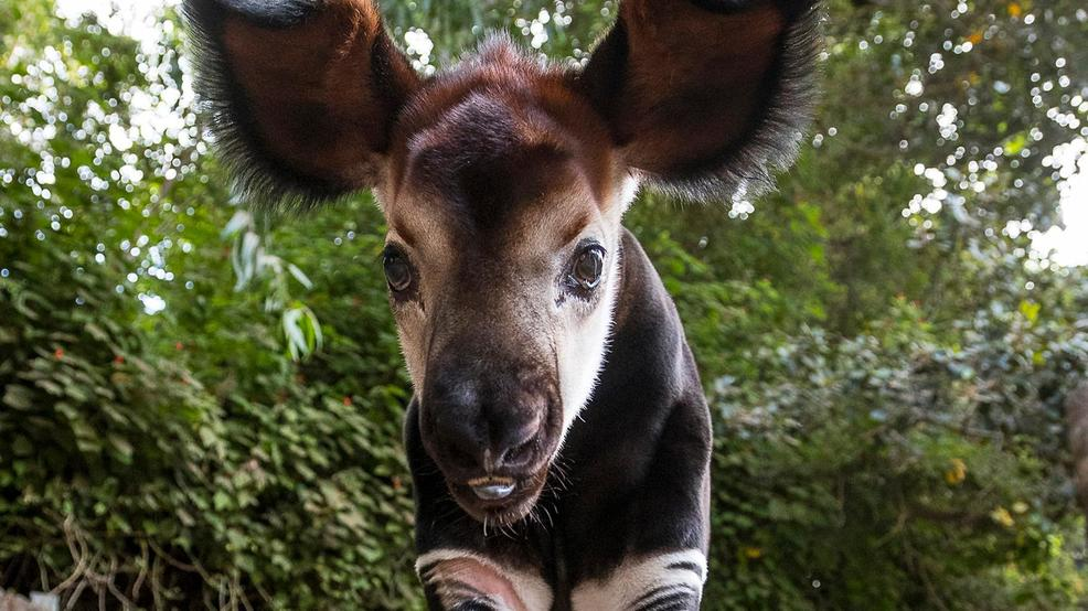 Endangered Okapi Born At San Diego Zoo Kmtr