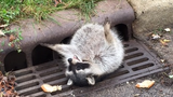 Raccoon stuck in sewer grate after overeating