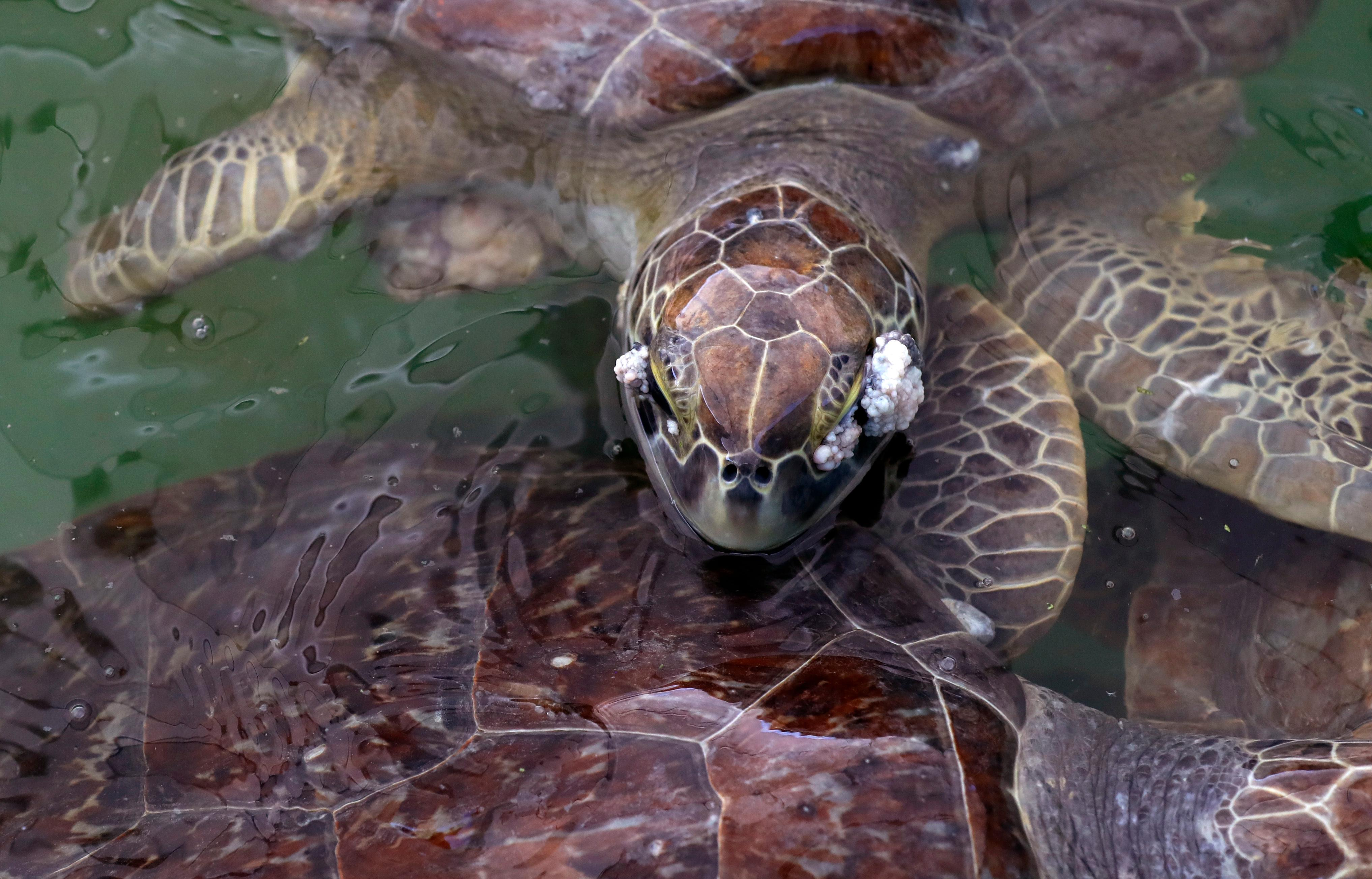 A sea turtle that had been held at the Animal Rehabilitation Keep in Port Aransas, Texas, swims in a tank at the Sea Life Center, Saturday, Sept. 30, 2017, in Corpus Christi, Texas. About 30 sea turtles, many awaiting surgery for tumors, were transferred after Hurricane Harvey destroyed the facility in Port Aransas. (AP Photo/Eric Gay)