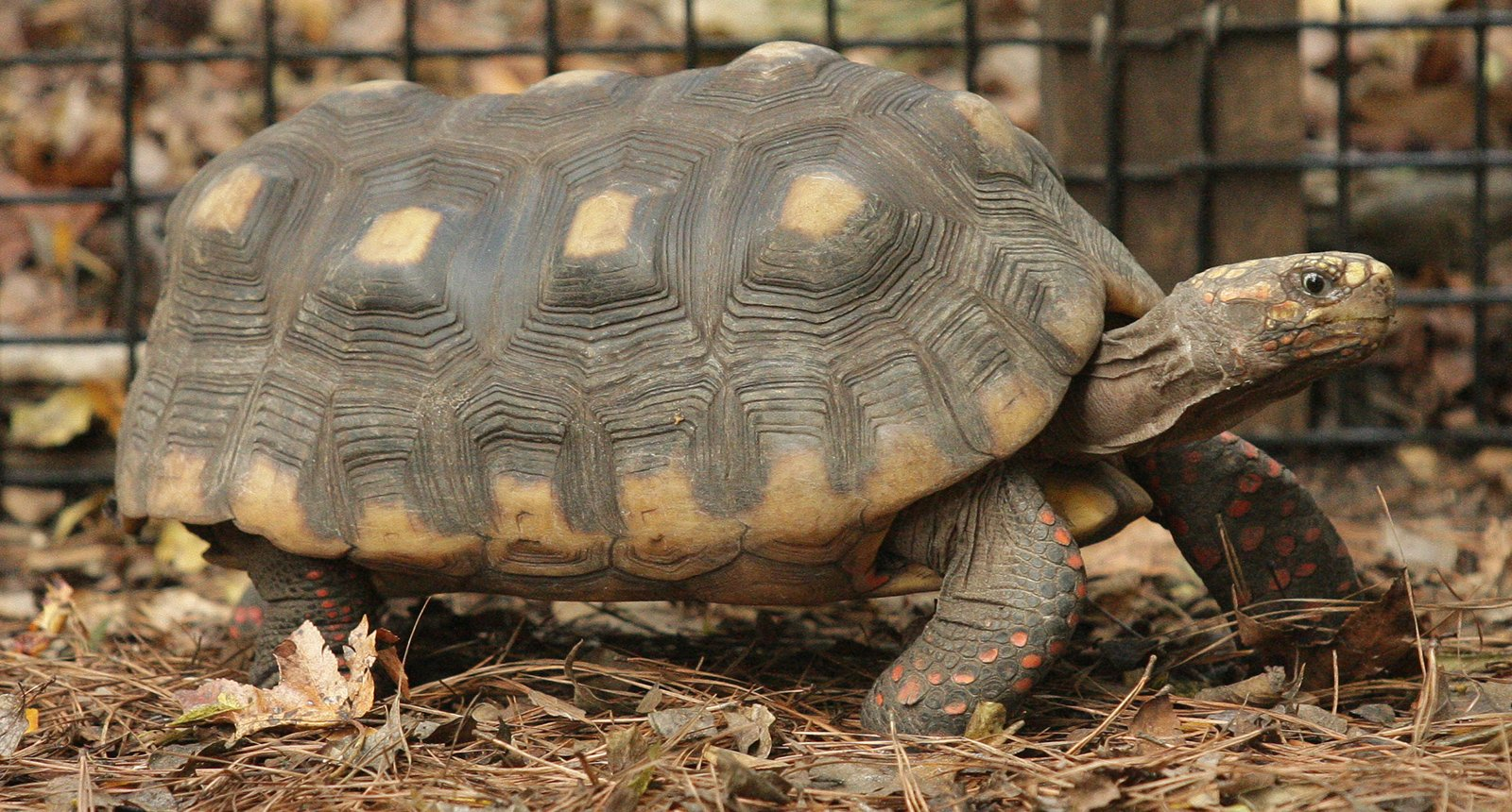 red-foot-tortoise.jpg