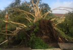 Lake Worth_Parkvista HS_Uprooted trees_Kayla Thomas2.PNG