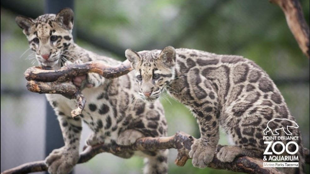 last chance to visit zoo s clouded leopard cubs komo