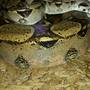 Boa constrictor escapes, on the loose in upstate New York