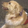 RI bill would prohibit dressing pets as service dogs to attain privileges