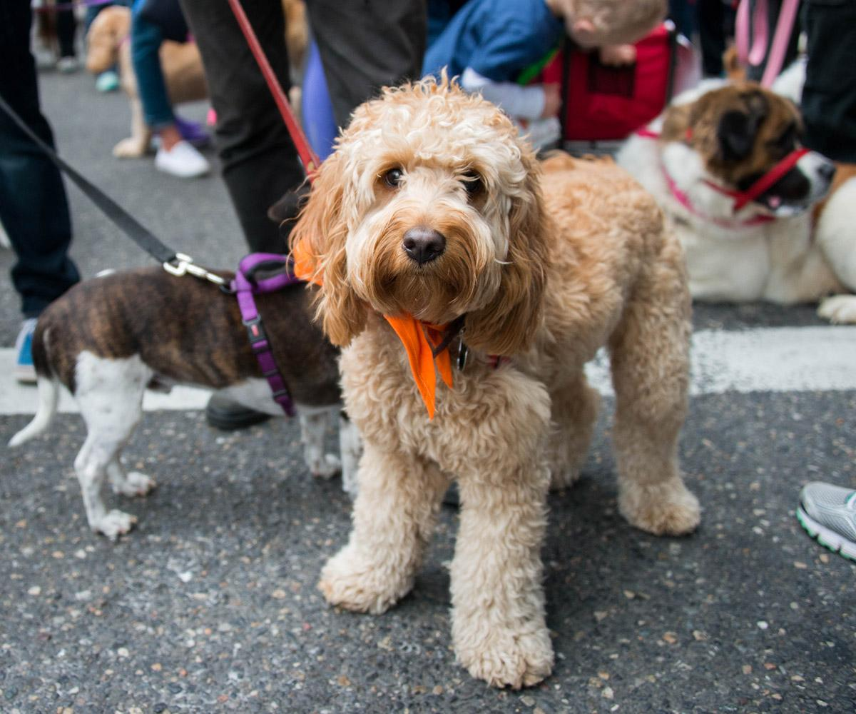 More than 4,000 people and pooches took part in the 29th annual Doggie Dash, one of the year's biggest fundraisers for the Oregon Humane Society. (Photo by Tristan Fortsch)