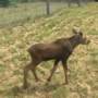 Baby moose finds new home at Maine Wildlife Park