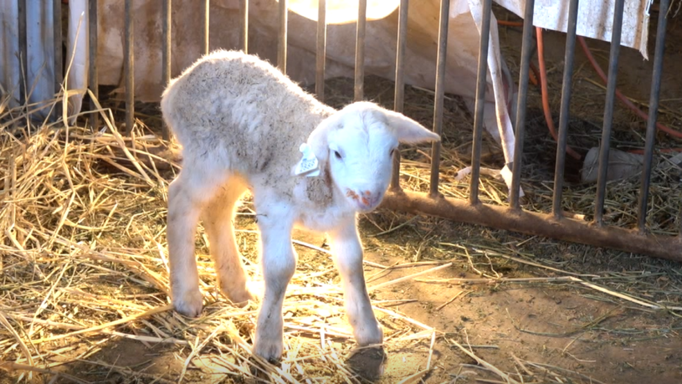 Raising Hair Sheep in Central Nebraska   KHGI