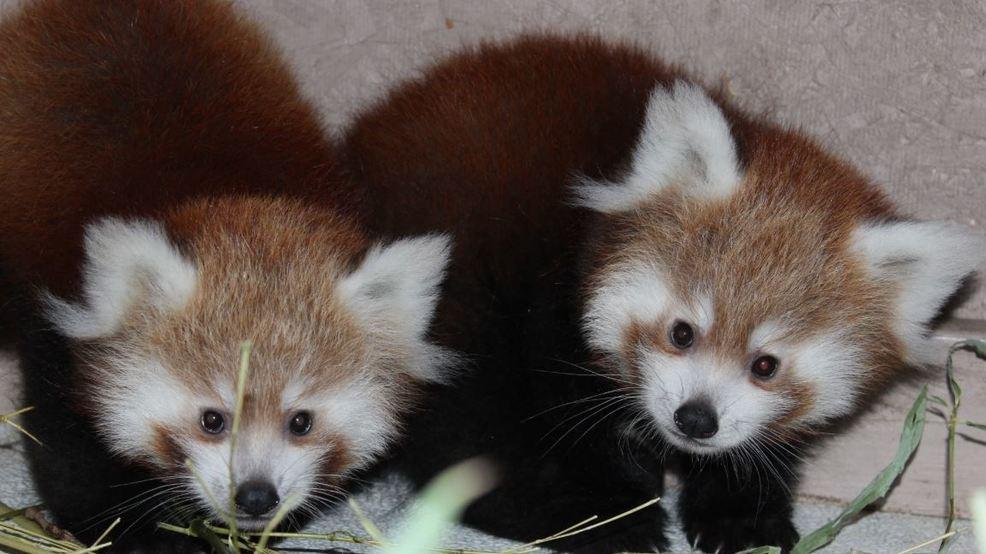 Zoo Boise names twin red panda cubs