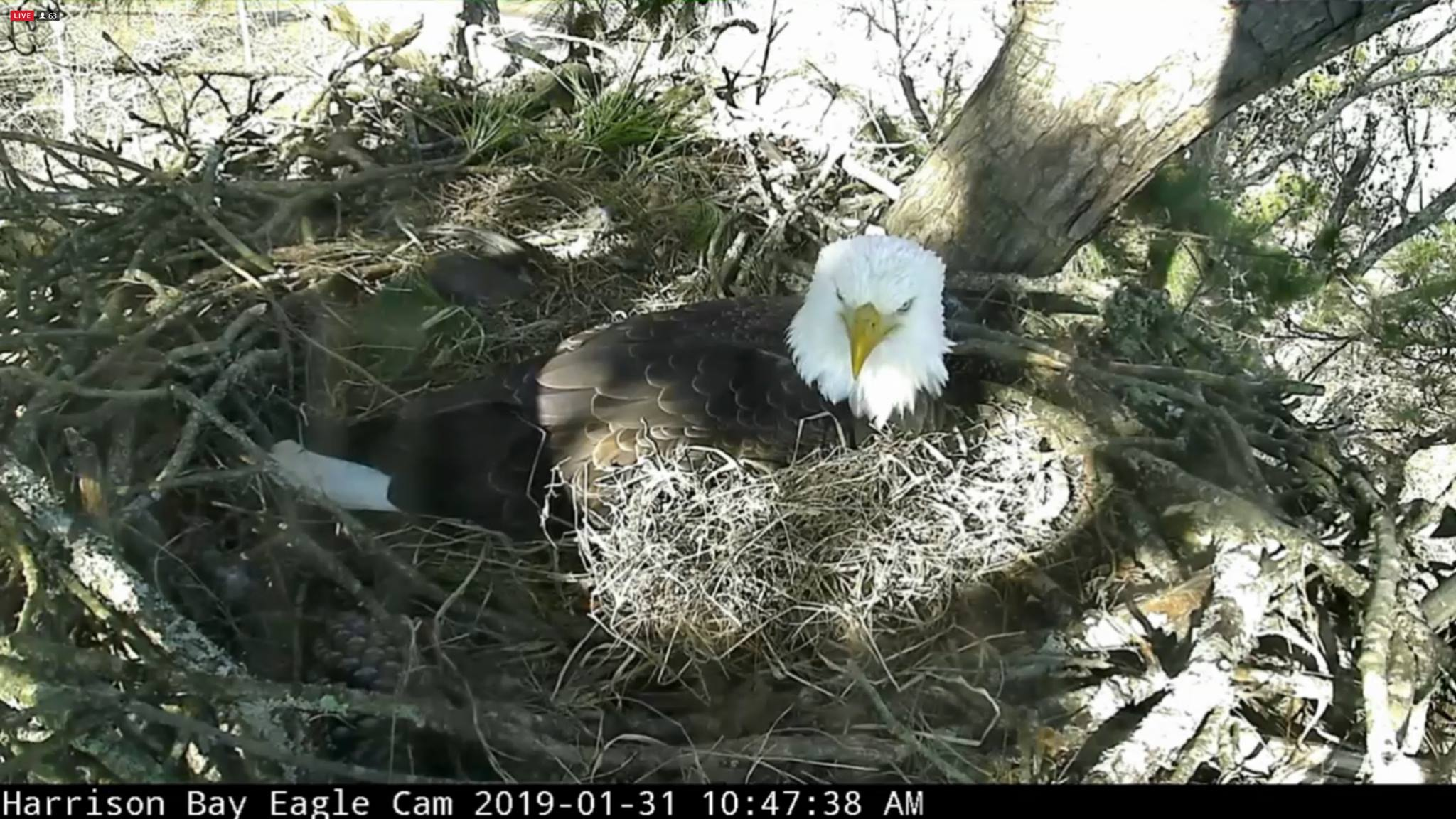 The male bald eagle watchers call Elliot takes his turn Wednesday morning incubating three eggs in the nest on the Bear Trace Golf Course at Harrison Bay State Park. (Eagle Cam Screen Grab)